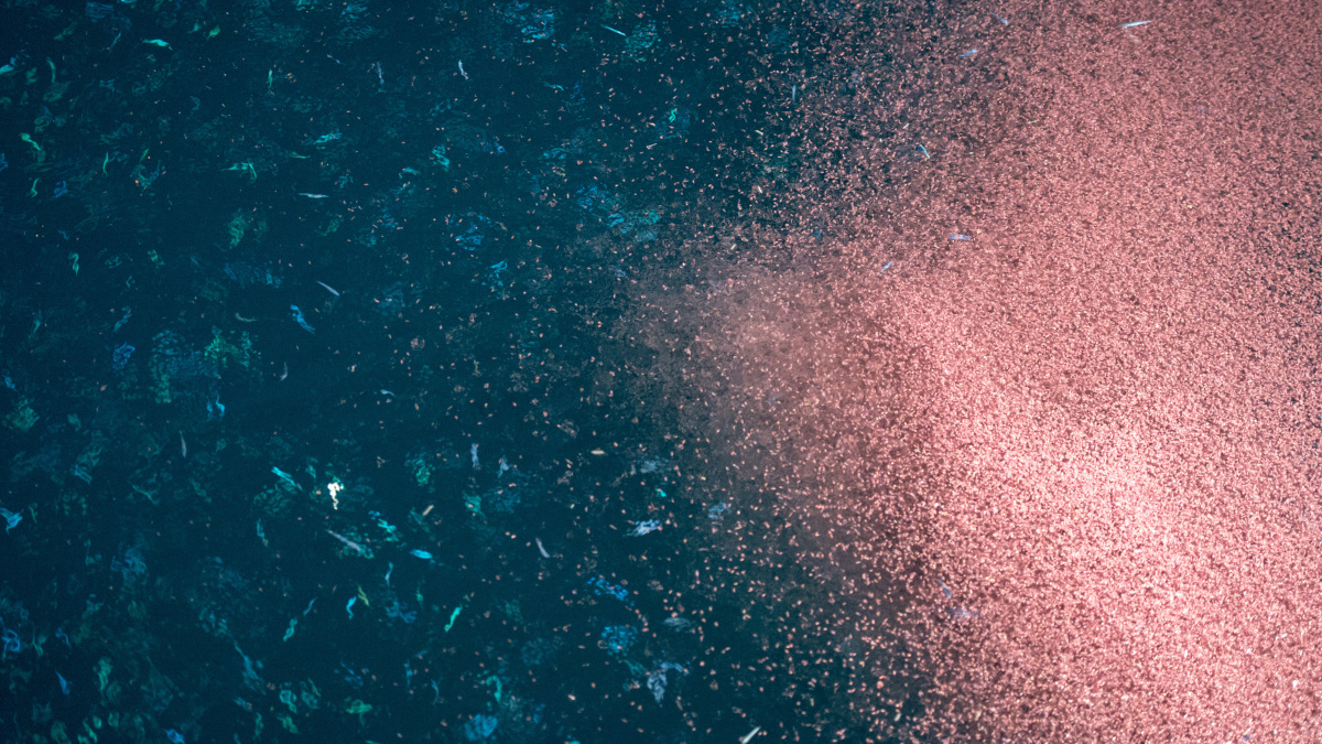 Shoal of krill rich in omega-3